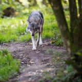 Gray/Eurasian wolf Royalty Free Stock Photos