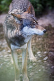 Gray/Eurasian wolf Stock Photos