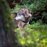 Gray/Eurasian wolf Royalty Free Stock Photo