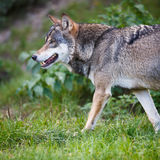 Gray/Eurasian wolf Stock Photography