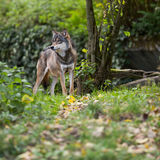 Gray/Eurasian wolf Royalty Free Stock Image