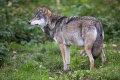 Gray/Eurasian wolf Royalty Free Stock Photo