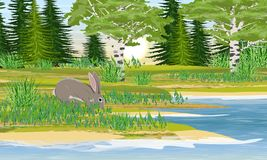 Gray European hares on the lake shore. Meadow with fir, birch, bushes and grass. River bank with grass, trees and bushes. vector illustration