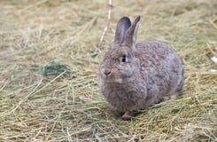 Gray european rabbit Royalty Free Stock Photography