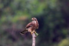 Gray-faced Buzzard Hawk, Butastur indicus Stock Photos