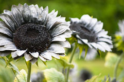 Gray Fake Sun Flower. The Gray color fake sun flower in display in garden Stock Images