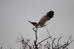Gray falcon. Omaruru Namibia game farm Royalty Free Stock Photos