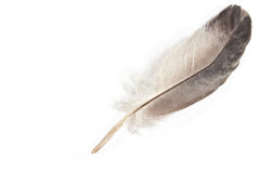 Gray feather Royalty Free Stock Photos