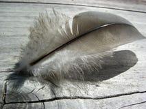 Gray Feather On Weathered Redwood immagine stock libera da diritti