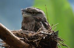 Gray Feathered Tawny Frogmouth Bird adorabile immagini stock libere da diritti