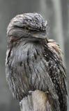 Gray Feathers su Tawny Frogmouth Bird su una pertica Fotografie Stock