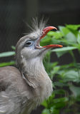 Gray Feathers in una cresta sulla testa di un Seriema Immagini Stock