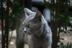 Gray female cat profile Royalty Free Stock Photo