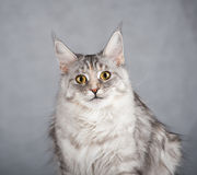 Gray female maine coon cat Stock Photography