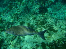 Gray fish. Big grey fish in Caribbean Sea Royalty Free Stock Photos