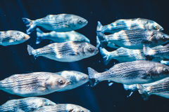 Gray Fishes Swimming Under Water Royalty Free Stock Image
