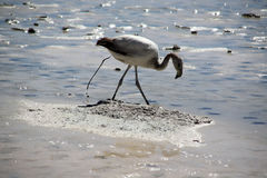 Gray flamingo. And defecation on the salt lake near Uyuni in Bolivia Royalty Free Stock Images