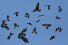 Gray flock of crows in flight on a blue background Royalty Free Stock Photos