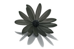 Gray flower. A gray flower isolated on a white background Royalty Free Stock Images