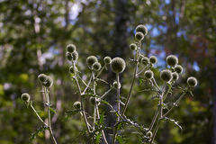 Gray flowers Echinops sphaerocephalus. Royalty Free Stock Photo