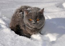 Gray fluffy British cat sits in the snow close-up.  royalty free stock image