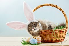 Gray fluffy cat with bunny ears in easter basket with easter eggs royalty free stock photography