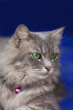 Gray fluffy cat Stock Photography