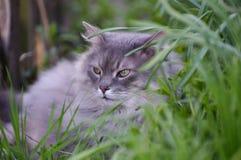 Gray fluffy cat Royalty Free Stock Photo