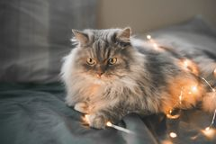 Gray fluffy cat lays on the bed in the bedroom and plays with lights. Portrait of a beautiful gray cat on a dark bed in the bedroom. Pet lays a bed in a stock images