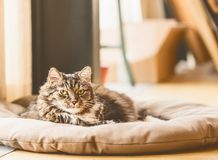 Gray fluffy cat lies on litter on floor and looking at camera, cozy home. Scene Stock Photo
