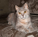 Gray fluffy cat  lying on couch Royalty Free Stock Image