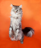 Gray fluffy cat Maine Coon sitting on orange Royalty Free Stock Images