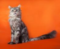 Gray fluffy cat Maine Coon sitting on orange Stock Photos