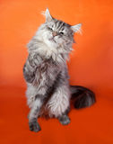 Gray fluffy cat Maine Coon sitting on orange Royalty Free Stock Photo