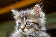 Gray fluffy cat. Photograph muzzle gray fluffy cat with green eyes and pink nose Stock Photo