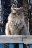 Gray fluffy cat Stock Images
