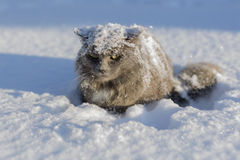 Gray fluffy cat in the snow Stock Images