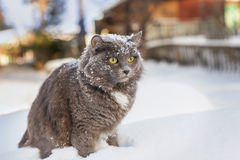Gray fluffy cat in the snow Stock Photo