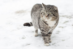 Gray Fluffy Cat is Walking in the Winter Stock Images