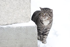 Gray Fluffy Cat is Walking in the Winter Stock Image