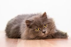 Gray fluffy cat with yellow eyes. isolate. Beautiful gray fluffy cat is playing. isolate royalty free stock images