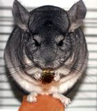 Gray fluffy chinchilla. A rodent eats a flower of echinacea Royalty Free Stock Images