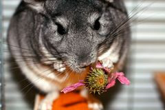 Gray fluffy chinchilla. A rodent eats a flower of echinacea Stock Image