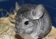 Gray fluffy chinchilla sits on a wooden Board gnaw in a cage. Gray fluffy chinchilla sitting on a wooden Board in a cage pet home gnaw stock photography