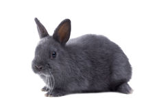 Gray fluffy dwarf rabbit isolated, white background Stock Images