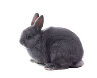 Gray fluffy dwarf rabbit isolated, white background Royalty Free Stock Image