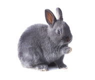 Gray fluffy dwarf rabbit sits with a raised paw,   on wh Stock Photos
