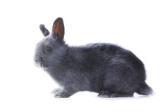 Gray fluffy dwarf rabbit standing on a white background. Isolate Stock Photo