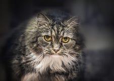 Gray Fluffy-Hauskatze, die intensiv in die Kamera anstarrt stockbilder