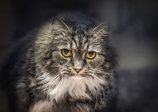 Gray Fluffy house cat staring intensely into the camera. On dark home background stock images